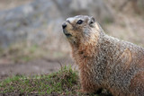 yellow bellied marmot poster