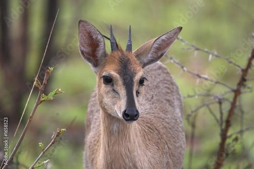 Foto op Canvas Antilope grey duiker