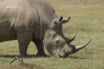 white rhino in nakuru