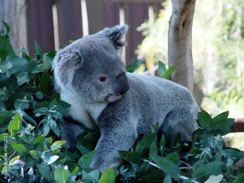 Tuinposter Koala koala