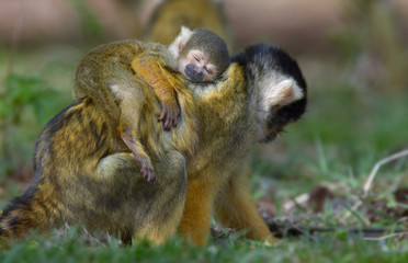baby squirrel monkey asleep on mothers back