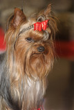 prize dog poster