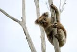 wild koala up a tree poster