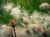 thistle fluffty blow-balls poster