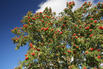 mountain ash, rowanberries
