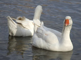 pair white geese. poster