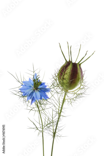 canvas print picture blue flowers