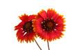 Leinwanddruck Bild red sunflowers