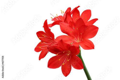 canvas print picture red lilies