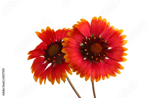 canvas print picture red sunflowers