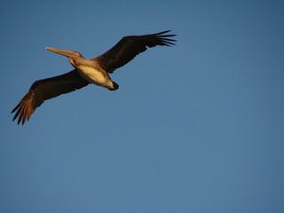 pelican in flightt