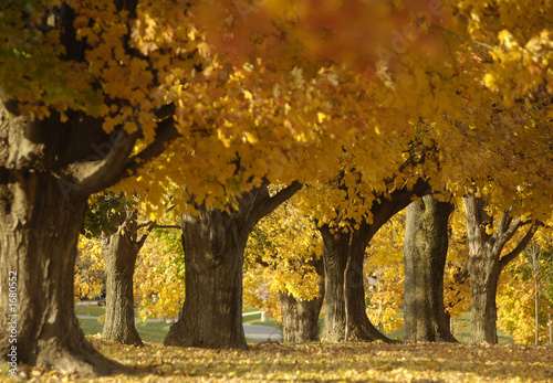 canvas print picture maples
