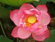 full framed large pink lotus bloom