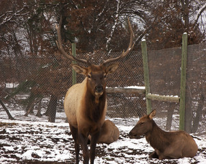 elk male and female