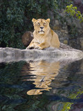 female lion laying in zoo with reflection on water poster
