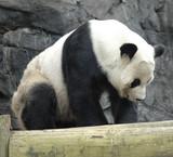 giant panda3 poster