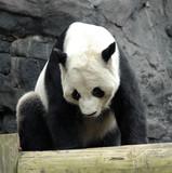 giant panda2 poster