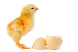 adorable baby chick poster