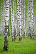 Fototapeten,birke,wald,rußland,baum