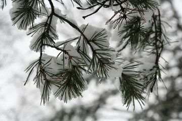 snow on pine branch ii