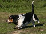 basset hound a fond poster