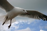 hovering seagull poster