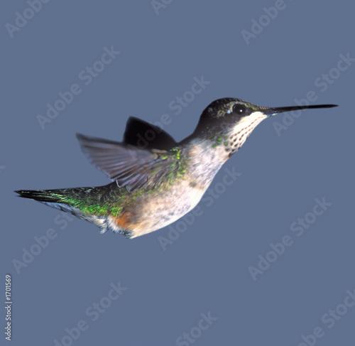 Leinwandbild Motiv hummingbird closeup