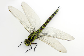 green dragonfly on white