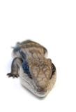 blue tongue lizard #6 poster