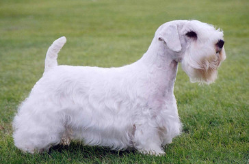 sealyham terrier 1