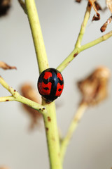 ladybug on stem of compsitae
