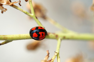 ladybug climbing along a stem of compositae