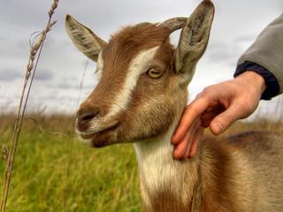 goat kid cub hand caress