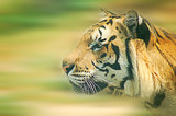 tiger motion poster