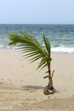 young coconut palm poster