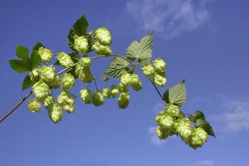 hops on sky