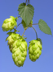 hops on blue