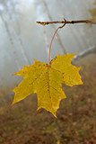 alone yellow autumnal maple leaf poster
