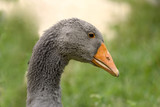 goose in dordogne, france poster