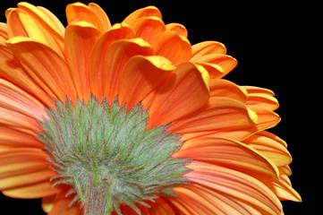 behind the daisy