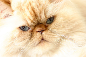 hymalayan persian cat