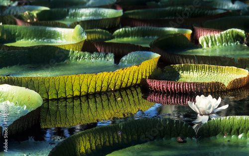 giant amazon water lily - 1756380