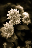 beautiful  fine art image of  dahlia poster
