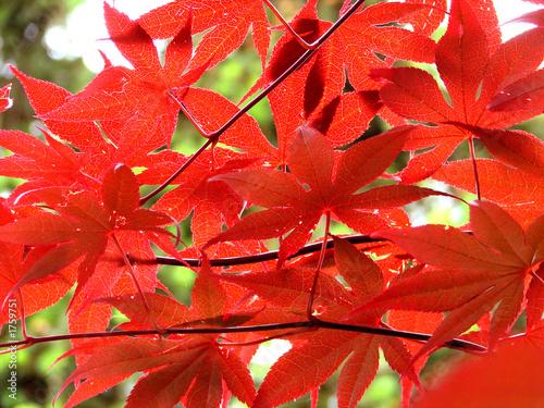 Acero rosso immagini e fotografie royalty free su for Acero rosso canadese prezzo