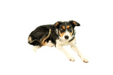 border collie lying down poster