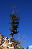 pine tree on a cliff poster