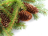 fir cone on the branch poster