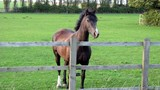 horse in farm/field poster