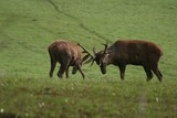 two rutting deer stags