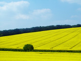 yellow crop field poster